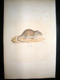 Saint Hilaire & Cuvier C1830 Folio Hand Colored Print. Brown Rat